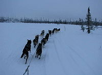 The Iditarod team of fast endurance dogs